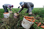 Безработные городские жители убирают морковь в Минской области