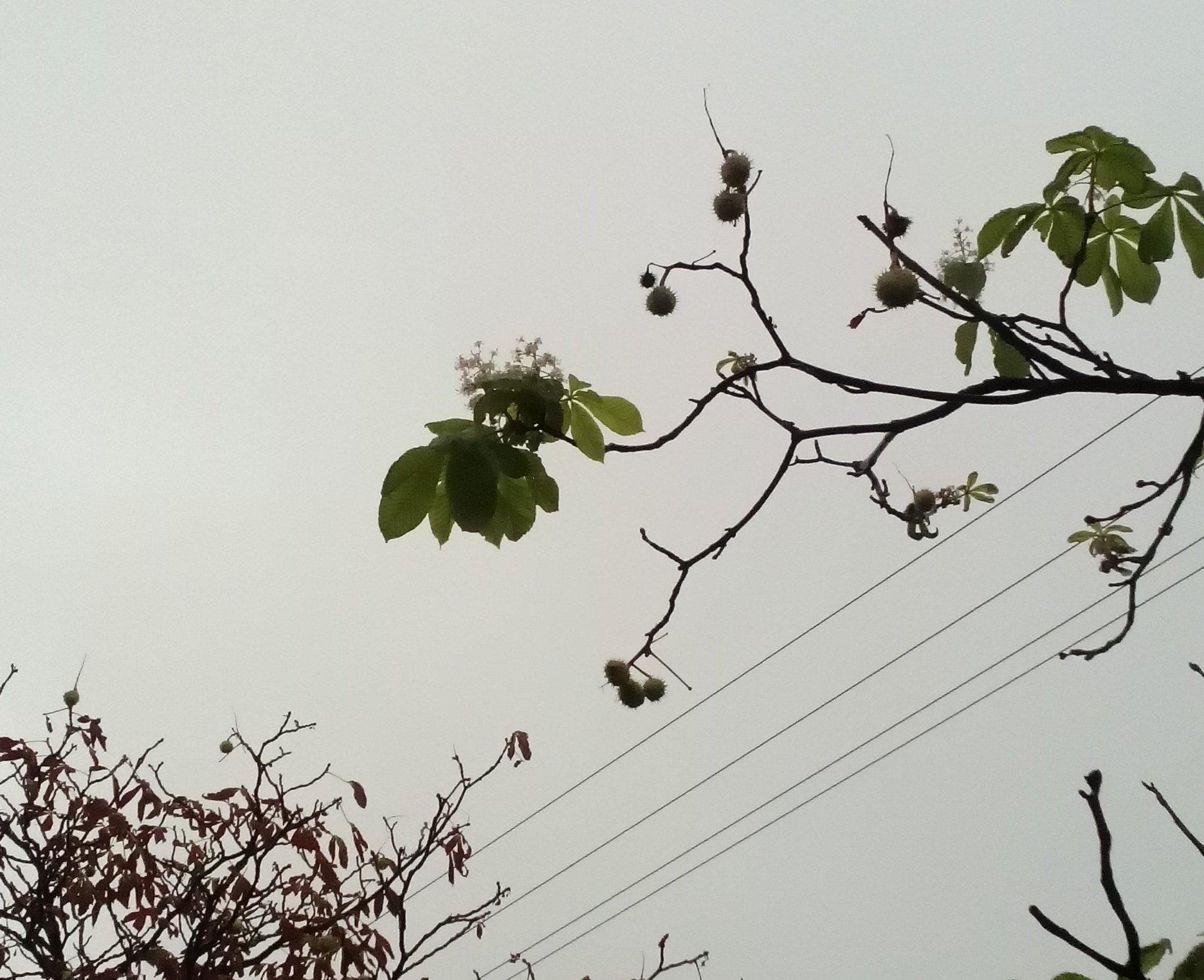 Каштаны в Минске цветут и плодоносят одновременно
