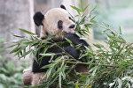 Большая панда в вольере зоопарка города Чунцин в Китае