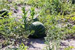 Белорусские покупатели обычно выбирают 5-6-килограммовые плоды, чтобы съесть за один раз