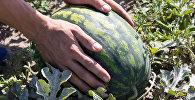 Арбузы давно уже выращивают белорусские фермеры