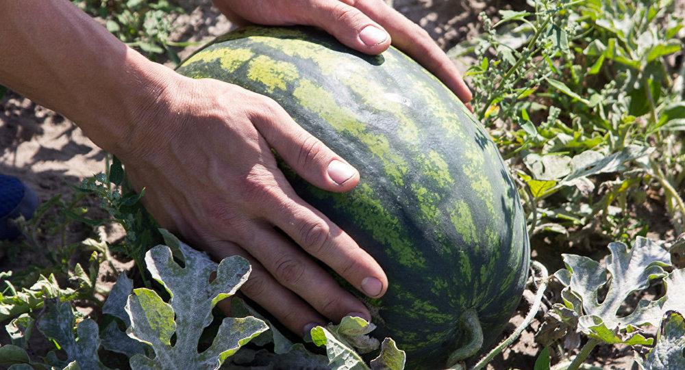 Беларусь рассчитывает получить превосходный урожай арбузов втечении этого года