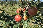 Яблоки на белорусской ферме