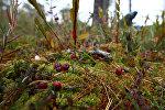 Сбор клюквы на болоте