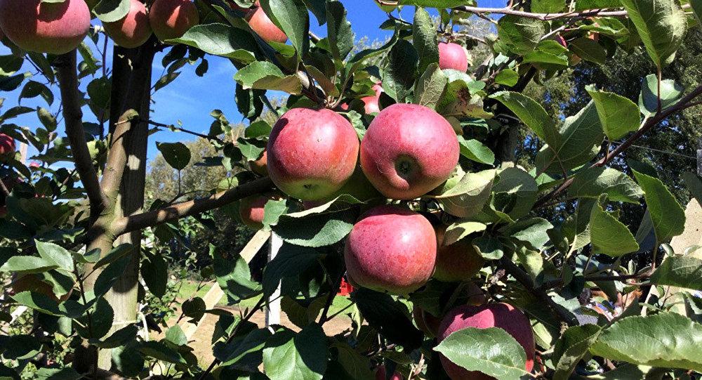 Беларусь продала РФ в5 раз больше яблок, чем вырастила