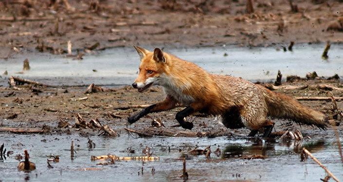 Из-за бешеной лисы вдеревне Гродненского района объявлен карантин