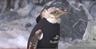 Пінгвін пазбавіўся пёраў і ўзамен атрымаў гідракасцюм