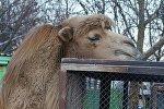Верблюд в Минском зоопарке