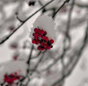 Рябина укрылась снегом