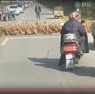 Организованный уткапокалипсис в Китае: тысячи уток пересекли трассу