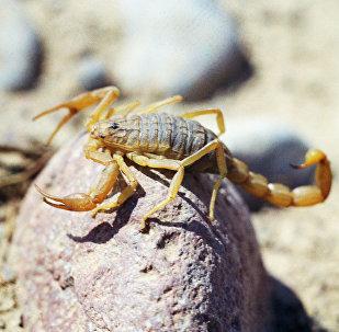 Скорпион, архивное фото