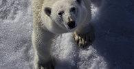 Белы мядзведзь у Арктыцы