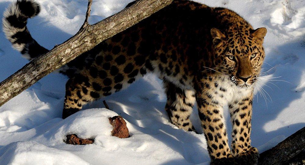 КНР выделил полтора млн гектаров леопардам награнице сРФ