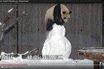 Панда знішчыла снегавіка ў заапарку Таронта
