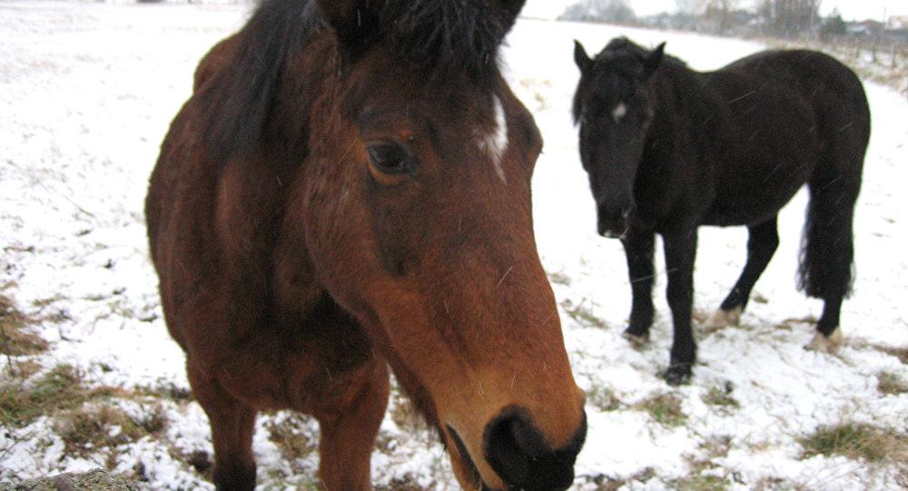 ИзПольши вБеларусь убежал табун лошадей