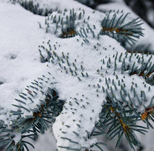 Декоративная ель зимой