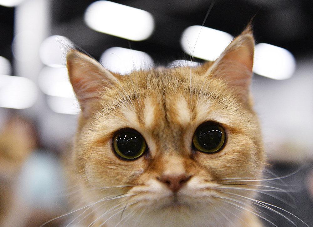 Выставка котят КоШарики Шоу в Москве