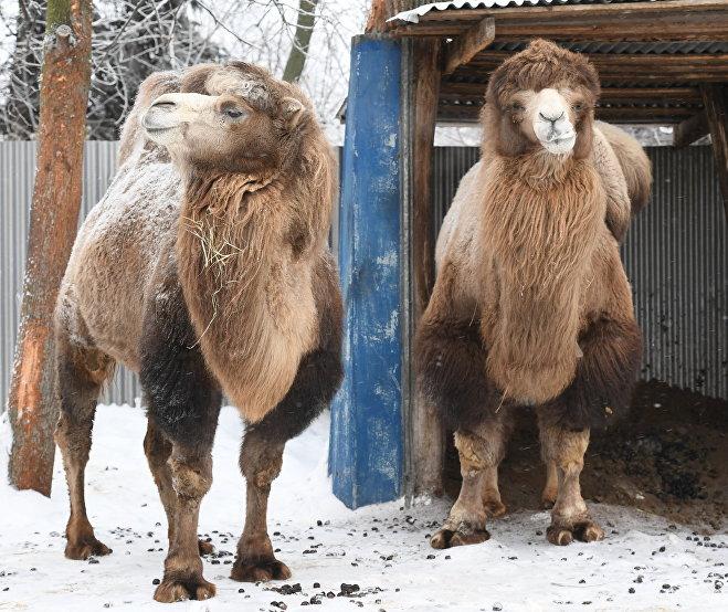 Верблюды в зоопарке зимой