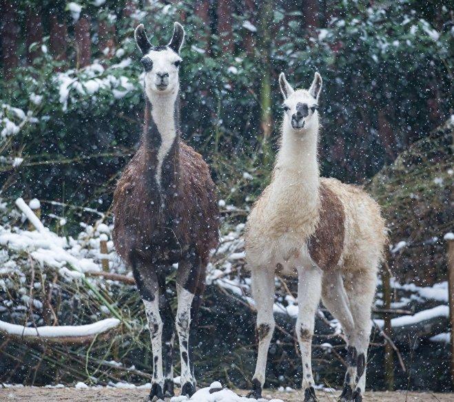 Ламам нравится снег