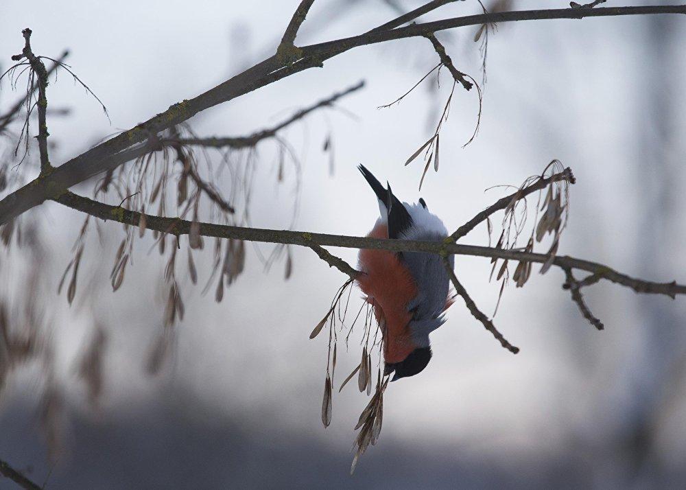 Снегирь клюет семена ясеня