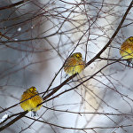 Овсянки на морозе