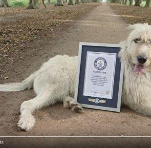 Собака с самым длинным в мире хвостом