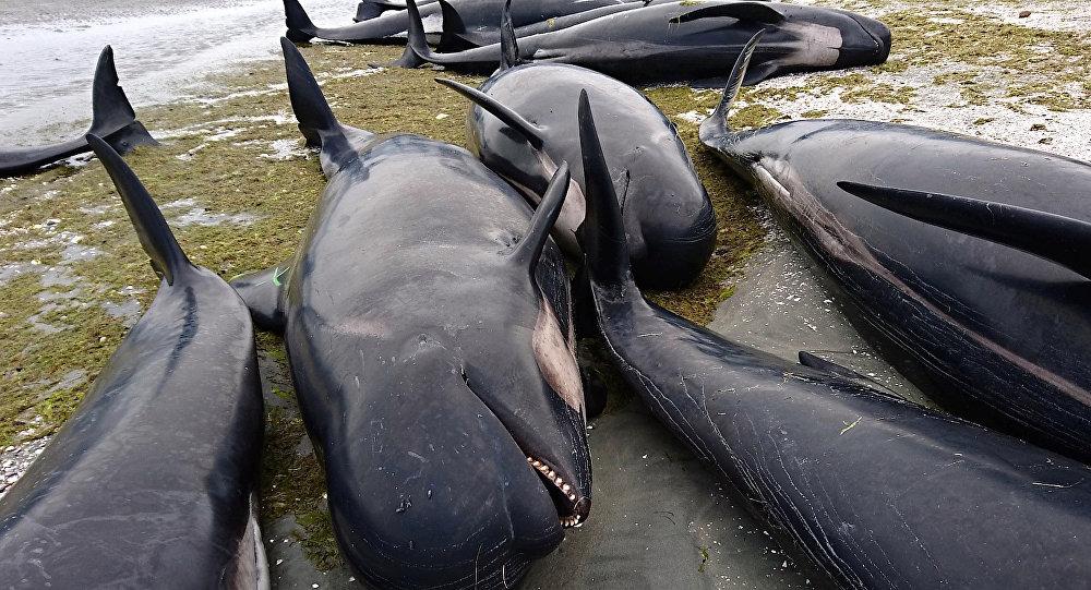 Специалист назвал предпосылкой массового самоубийства дельфинов судовые радиолокаторы
