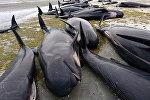 Черные дельфины, выбросившиеся на берег в Новой Зеландии