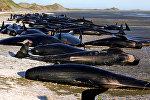 Черные дельфины выбросились на берег в Новой Зеландии