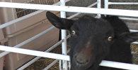 Эвакуіраваная жывёла ў Каліфорніі
