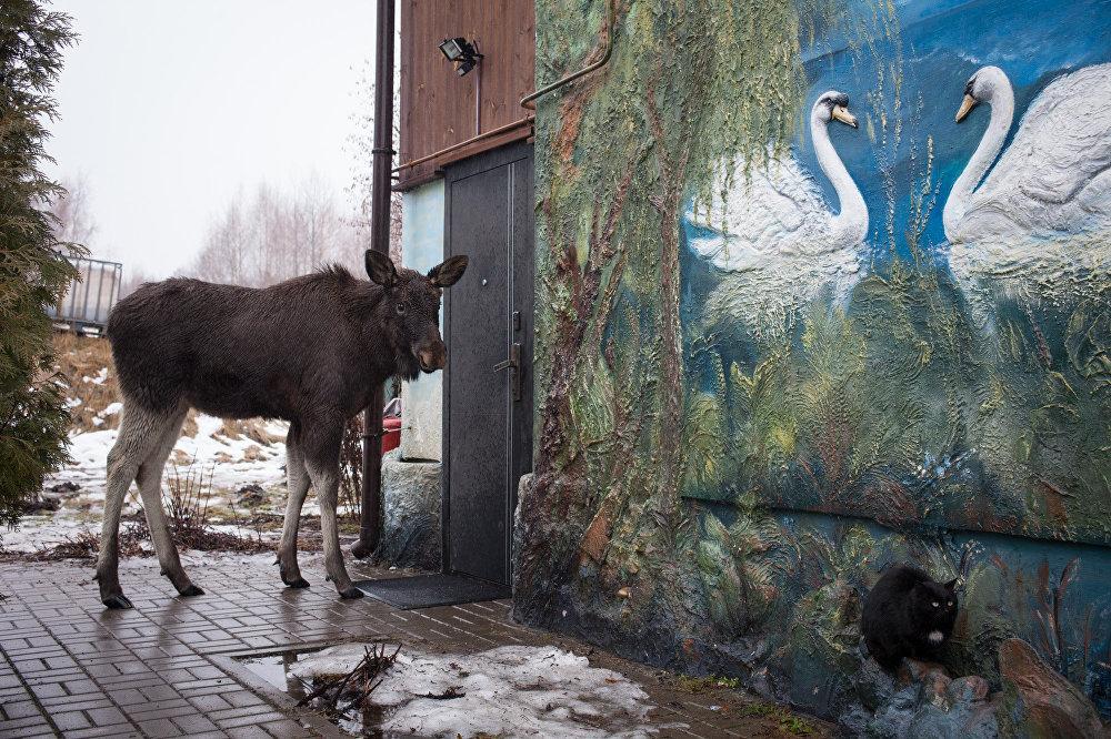 На ферме живет лось Гриша
