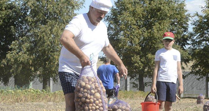 Аляксандр Лукашэнка і яго сын Мікалай збіраюць бульбу ў рэзідэнцыі ў Драздах