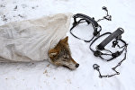 Капканы и мертвый волк