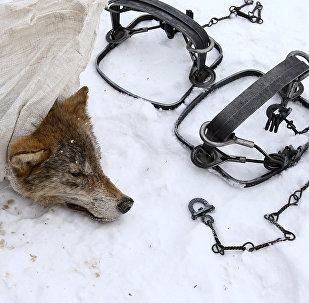 Капкан і мёртвы воўк