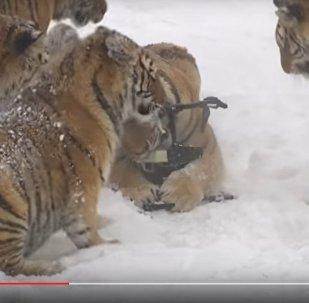 Видеофакт: как худеют располневшие в зоопарке амурские тигры