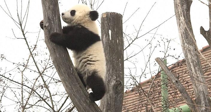 ВКитайской республике погибла 34-летняя панда-долгожительница Сусу
