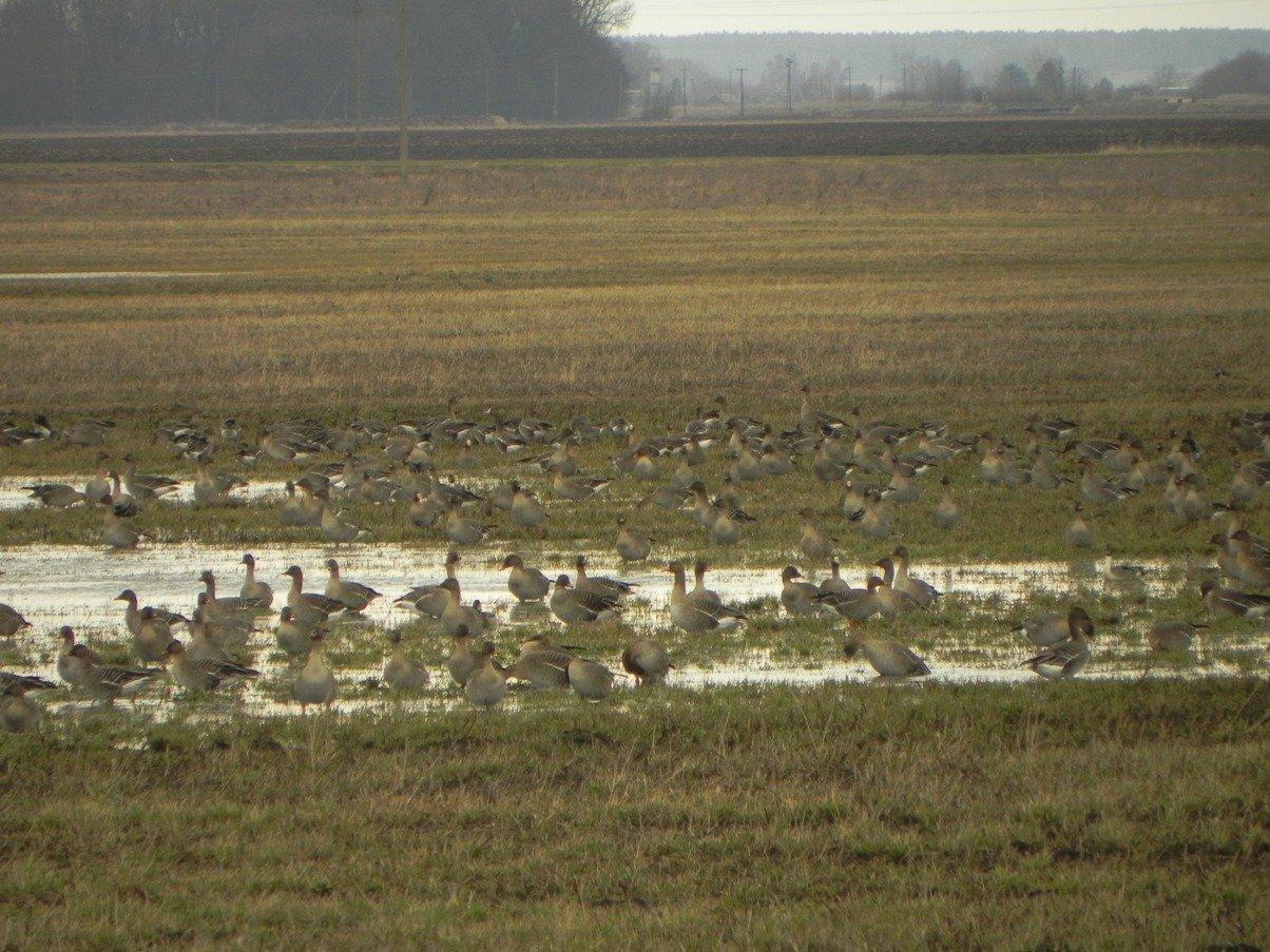 Стая гусей в Берестовицком районе (Гродненская область)