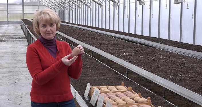 Республика Беларусь опровергла сообщения ореэкспорте картофеля вРФ