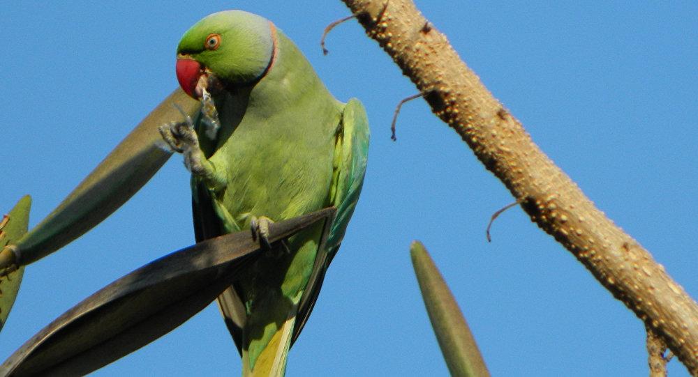 Попугаи-наркоманы убивают поля опийного мака вИндии