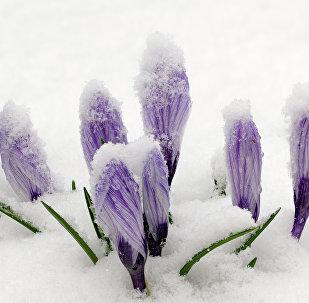 Крокусы пад снегам