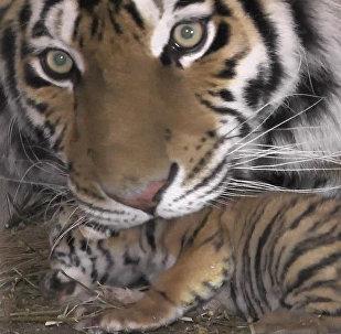 Тигрята в крымском сафари-запарке