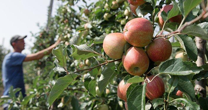 Яблоки в яблоневом саду