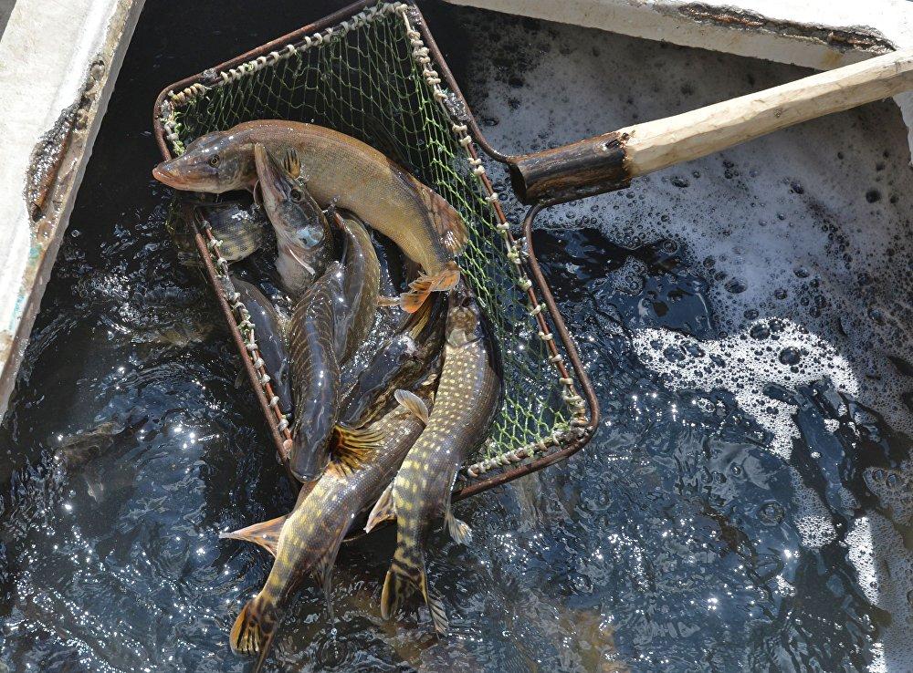 ВЗаславское водохранилище вселили 4 тонны молоди щуки