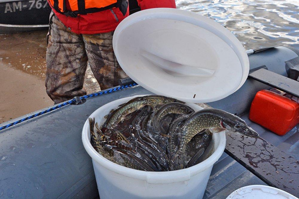 4 тонны щуки запустили вМинское море
