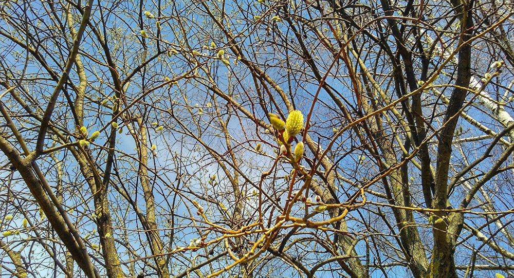 Вярба цвіце