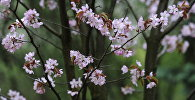 Цвіценне сакуры, архіўнае фота