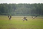 Журавли летят над полем. Архивное фото