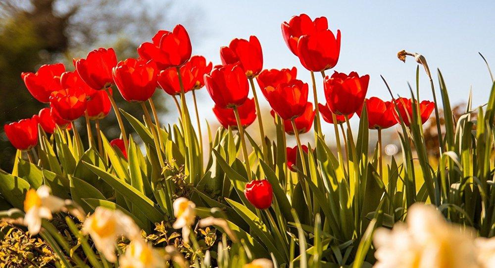 Цюльпаны вясной, архіўнае фота