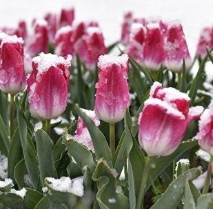 цюльпаны ў снезе, архіўнае фота