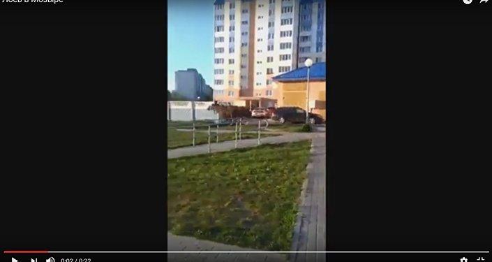 Відэафакт: лось бегаў па вуліцах Мазыра